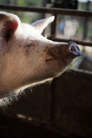 sty: Potrait of a pig in a pig sty