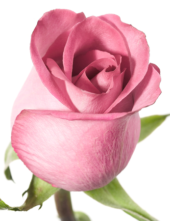 in full bloom: Pink rose on a white background.