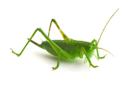 Green grasshopper ...