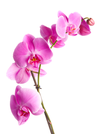white orchid:  pink flowers orchid on a white background