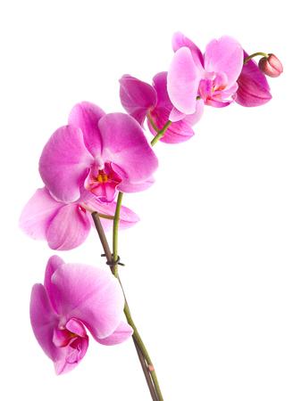 Rosa flores de orquídeas sobre un fondo blanco  Foto de archivo - 1497854