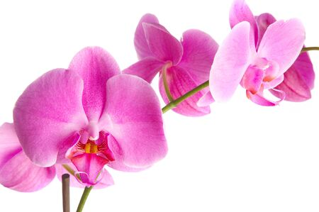 pink flowers orchid on a white background