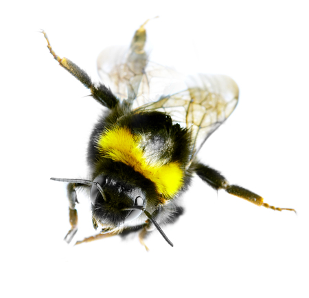 Flying bumblebee on a white background  photo
