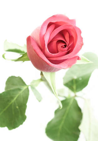 rubicund: Pink rose on a white background.