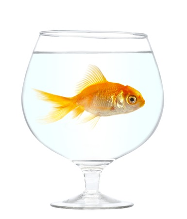 Gold small fish in an aquarium on a white background. Stock Photo - 1510780