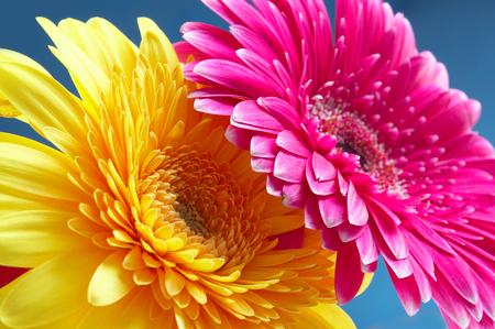 Foto gerbers fiori di colore diverso