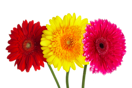 Photo flowers gerbers different color Stock Photo - 1510802