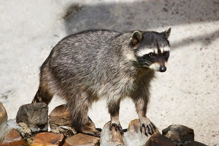 coon: coon Stock Photo