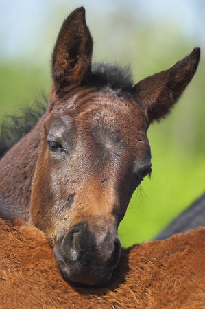 steed: Foal Stock Photo
