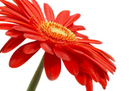 Fiore rosso su sfondo bianco ...