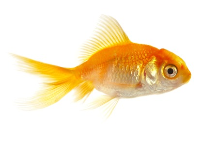 Gold small fish on a white background  photo