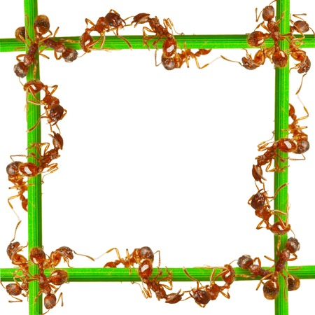 Ants on a green grass. On a white background. Stock Photo - 1599368