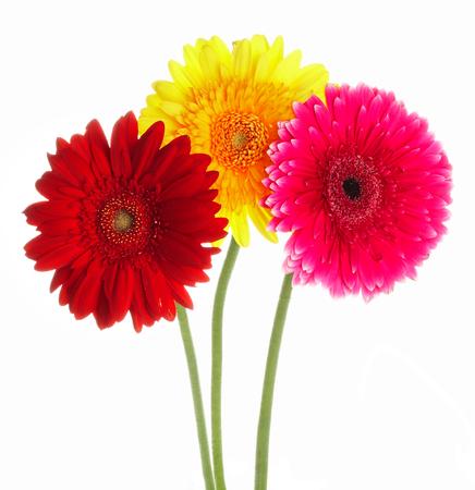 Foto fiori gerbers colore diverso