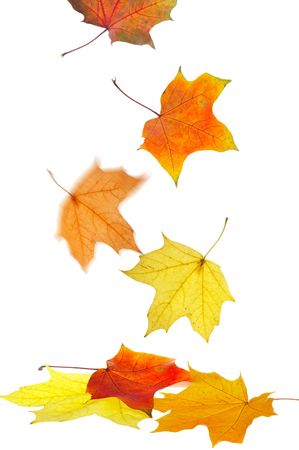 Maple leaves on a white background Stock Photo - 1796112