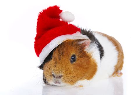 christmas guinea pig: Rodent in a red cap
