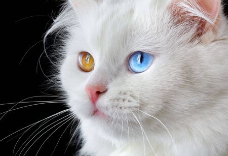 varicoloured: Portrait of a  varicoloured eyes white cat...