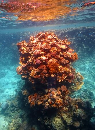 Coral reef in Red sea... photo