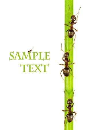 Ants on a green grass. On a white background. Stock Photo - 5696887