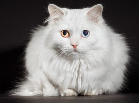 varicoloured: Retrato de un gato blanco bocetado ojos...