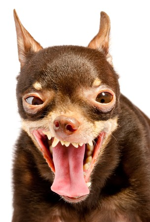 brown and black dog face: Russian toy-terrier.Thoroughbred dog...Ridiculous dog