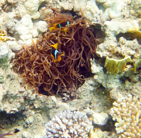 Topical saltwater fish ,clownfish (Amphiprion Ocellaris) photo