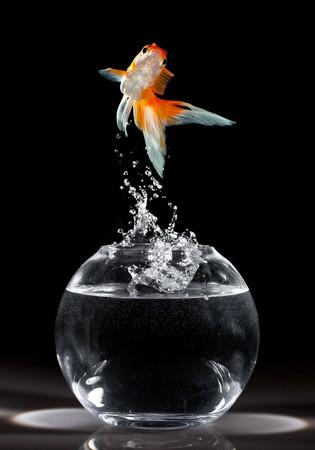 peces de colores: Carassius auratus salta hacia arriba de un acuario sobre un fondo oscuro  Foto de archivo