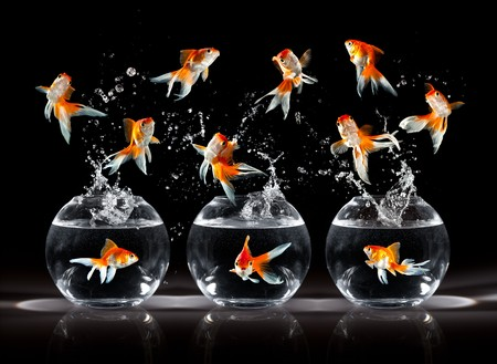 aquarium: goldfishs jumps upwards from an aquarium on a dark background