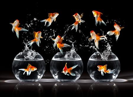 peces de colores: goldfishs salta hacia arriba de un acuario sobre un fondo oscuro  Foto de archivo