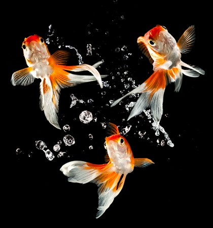migrating animal: goldfish isolated on a dark black background