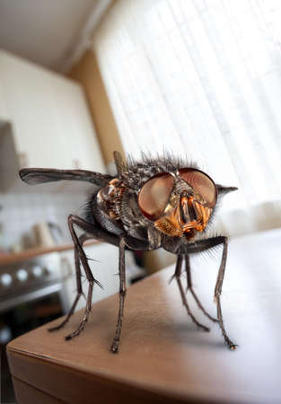 housefly: housefly sits on a table in kitchen Stock Photo