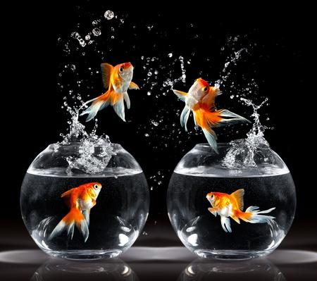 huir: goldfishs salta hacia arriba de un acuario sobre un fondo oscuro Foto de archivo
