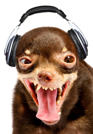 Ridiculous dog DJ. Russian toy-terrier. Stock Photo - 9243172