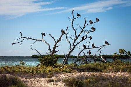 buzzard: Turkey Vulture (Cathartes aura) sit on a tree near a reservoir Stock Photo