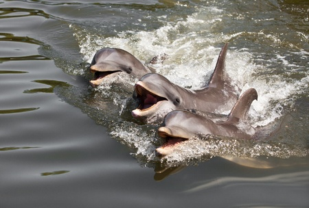 tres: Three dolphins float in water ... Stock Photo