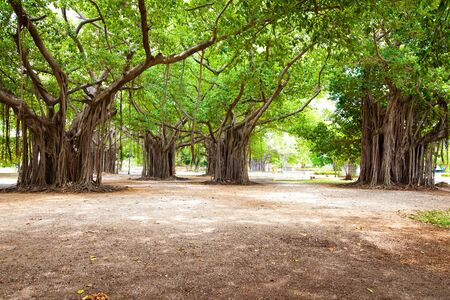 fig tree: Large ficus. Park in the centre of Havana