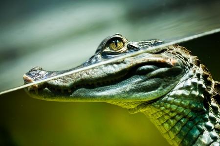 cocodrilo: Caiman crocodilus en el agua ... Foto de archivo