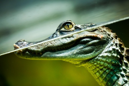 Caiman crocodilus in water ... photo
