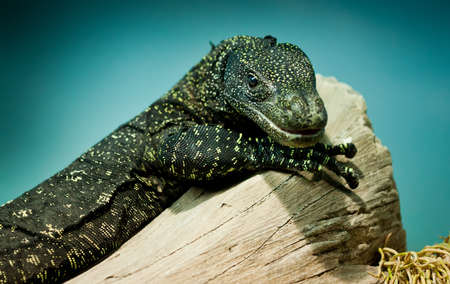 Varanus salvadorii sits on a tree Stock Photo - 12282385