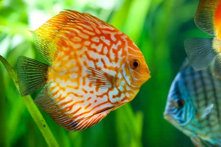 Symphysodon discus in an aquarium on a green background Stock Photo - 12282390