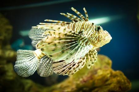 Pterois radiata in an aquarium on a green background Stock Photo - 12282435
