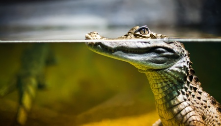 caiman: Caiman crocodilus in water ... Stock Photo