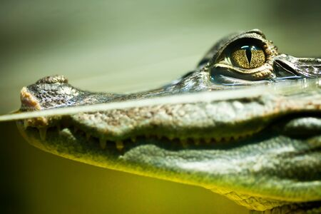 alligator eyes: Caiman crocodilus in water ... Stock Photo