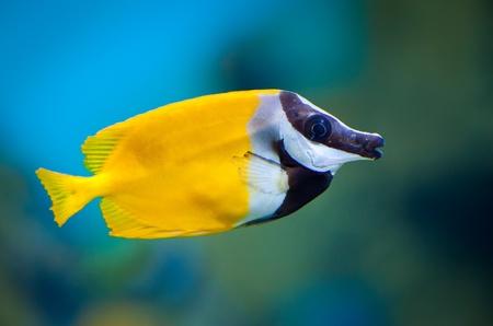 pez pecera: Vulpinus Siganus en un acuario sobre un fondo verde Foto de archivo