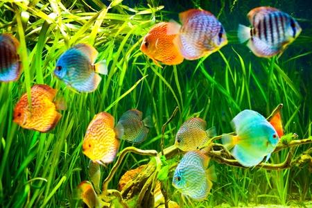 peces de acuario: Symphysodon discus en un acuario sobre un fondo verde