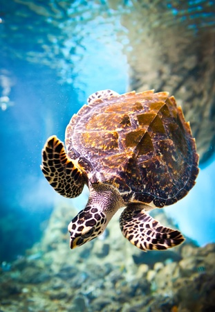 water ecosystem: Eretmochelys imbricata floats under water Stock Photo