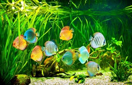 algen: Symphysodon discus in een aquarium op een groene achtergrond