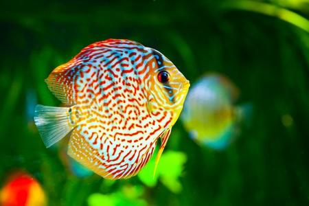 pez disco: Symphysodon discus en un acuario sobre un fondo verde