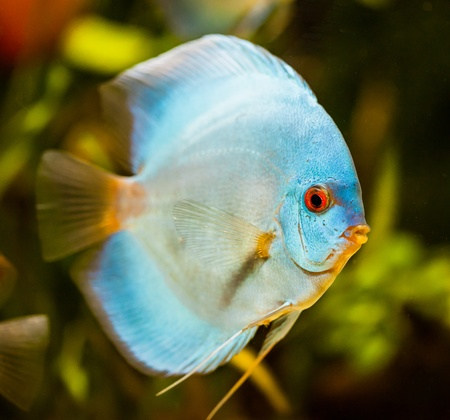 Symphysodon discus in an aquarium on a green background Stock Photo - 13310491