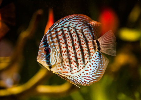 Symphysodon discus in an aquarium on a green background Stock Photo - 13307595