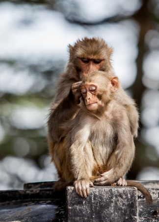 look after: Monkeys look after one after another
